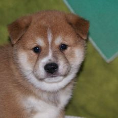 Shiba Inu Puppies For Sale In Arkansas Mas Little Paws